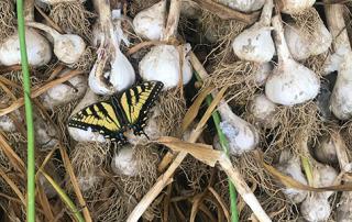 Butterfly in Garlic